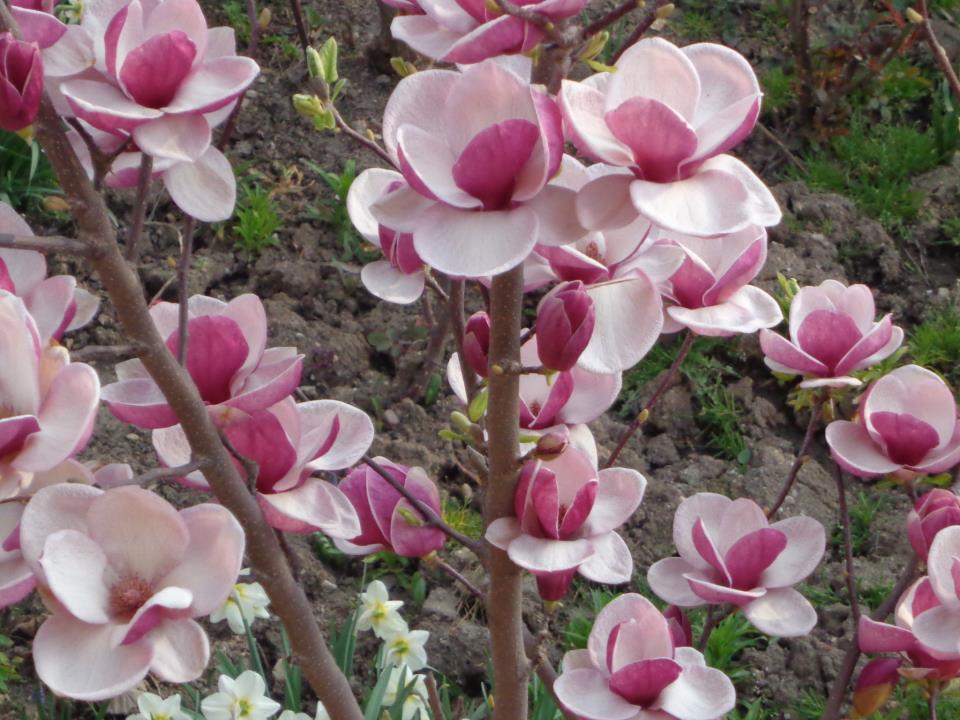 magnolii-roz-de-pictat