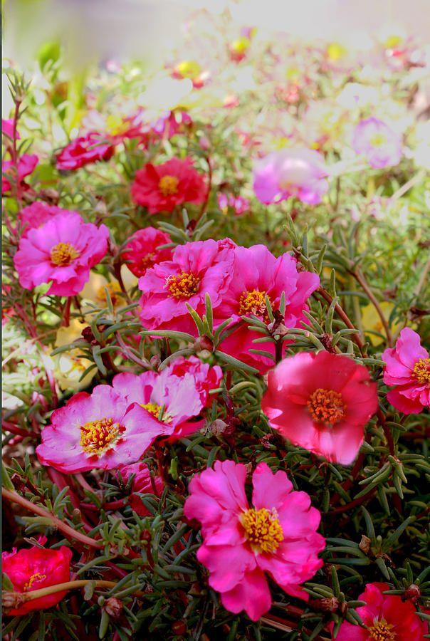 floarea de piatra