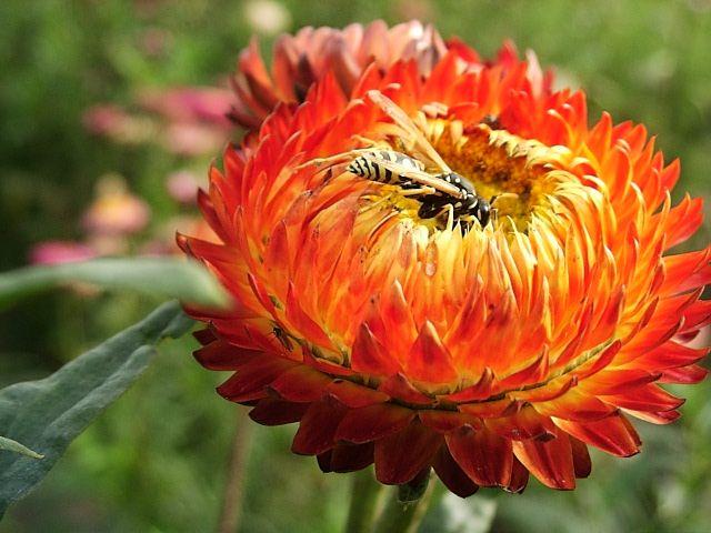 floare de pai 2