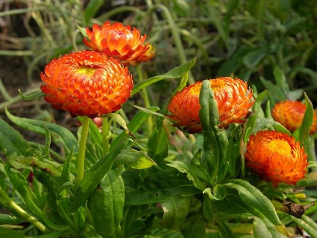 floare de pai 3