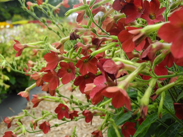 nicotiana-babybella-antique-red_3928